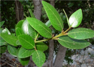 Leaves of Beilschmiedia berteroana