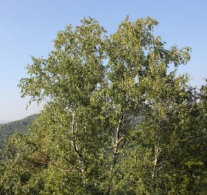 Adult tree of Betula klokovii