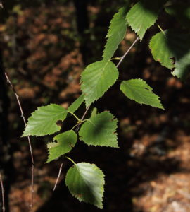 Betula klokovii leaves