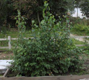Betula klokovii growing within nursery
