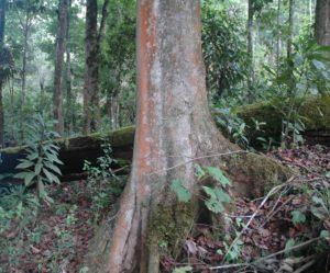 A_skutchii_trunk_At Sierra de las Minas Biosphere Reserve Photo credit Yalma Vargas