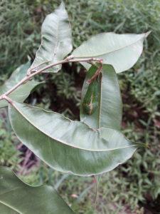 Aquilaria khasiana