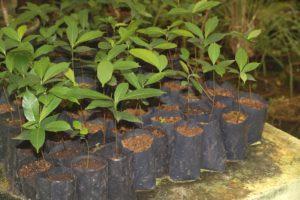 Buchanania barberi seedlings