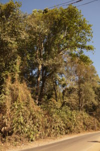 Buchanania barberi tree