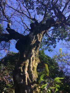 Mature Carpinus tientensis tree