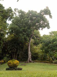 Cedrela odorata tree