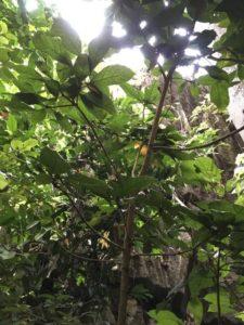 Cola octoloboides tree