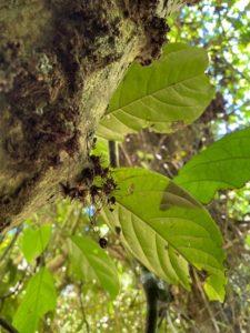 Cola porphyrantha leaves