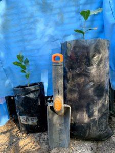 Seedlings of Quercus brandegeei. Credit: Silvia Alvarez-Clare, The Morton Arboretum