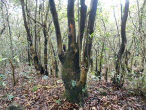 Pyrenaria cherrapunjeana (1)