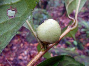 Pyrenaria cherrapunjeana (5)