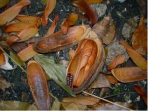 Swietenia macrophylla fruit
