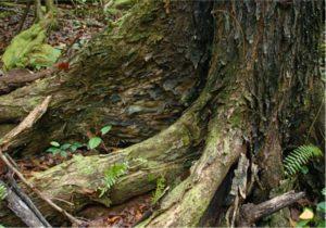 Swietenia macrophylla trunk