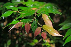 Hopea foxworthyi leaves