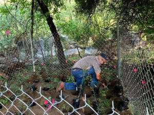 Local farmer transplanting Quercus brandegeei seedlings to enclosures