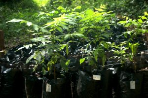 Juglans jamaicensis seedlings