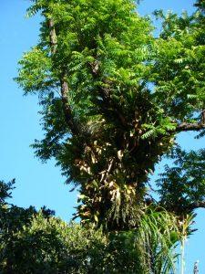 Juglans jamaicensis