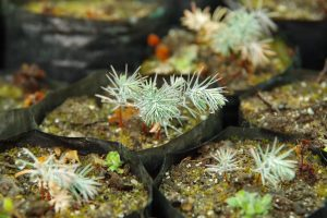 Tsenden seedlings growing from seed collected in 2016 by Royal Botanic Garden Edinburgh