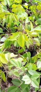 Afzelia africana saplings