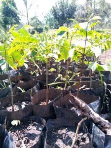 Afzelia africana
