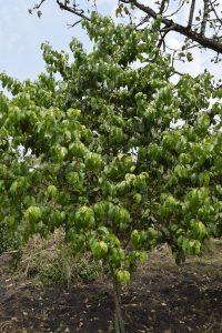 Prunus africana (6)-min