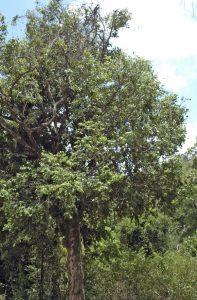 Drypetes porteri tree