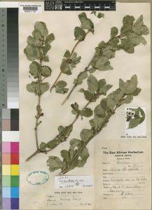 Coffea neoleroyi herbarium specimen