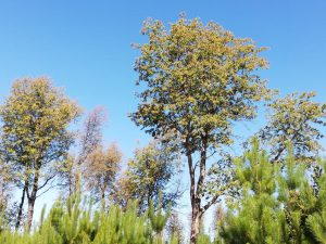 Nothofagus glauca tree
