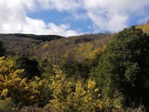 Nothofagus glauca landscape