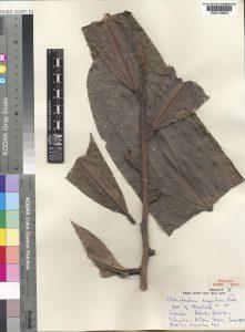 Uvariodendron magnificum herbarium specimen