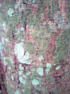 Antrocaryon micraster bark