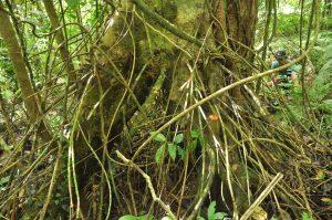Palaquium mindanaense trunk
