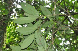 Palaquium mindanaense leaves