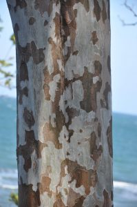 Tectona philippinensis trunk