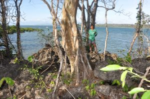 Tectona philippinensis on the coast