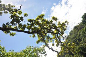 Xanthostemon fruticosus branch