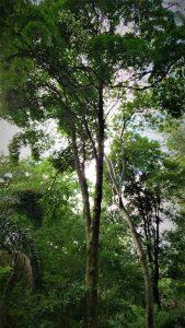 Aspidosperma polyneuron tree