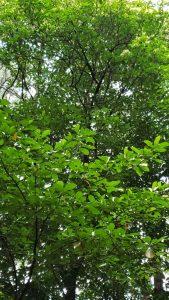 Esenbeckia leiocarpa tree
