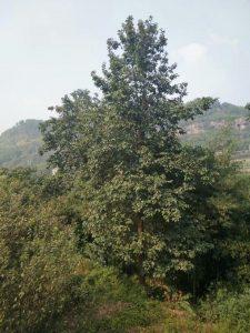 Artocarpus nanchuanensis