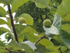 Artocarpus nanchuanensis fruit