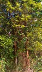 Brosimum glaziovii tree