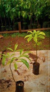 Balfourodendron riedelianum sapling