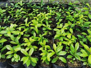 Euryodendron excelsum seedlings