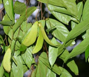 Hopea chinensis seed