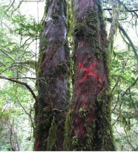 Taxus wallichiana